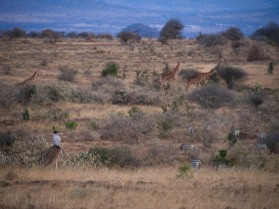 Kori bustard, giraffe, and plains zebra
